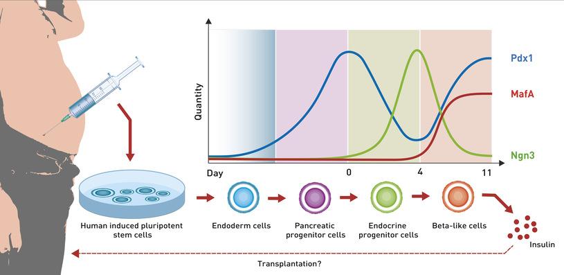 Proces programowania kmórek macierzystych w komórki beta ryc.ET Zurych